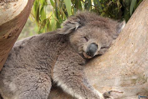 koala schlaf koala