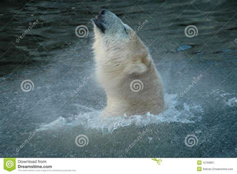 two polar bears in a bathtub polar bear ursus maritimus bath stock image image