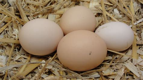 barred rock chickens eggs