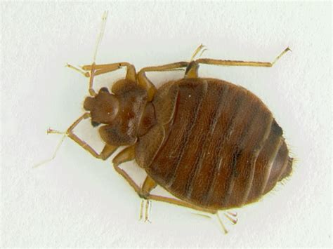 big bed bugs bed bug killing spray natural bed bug killer bed bug