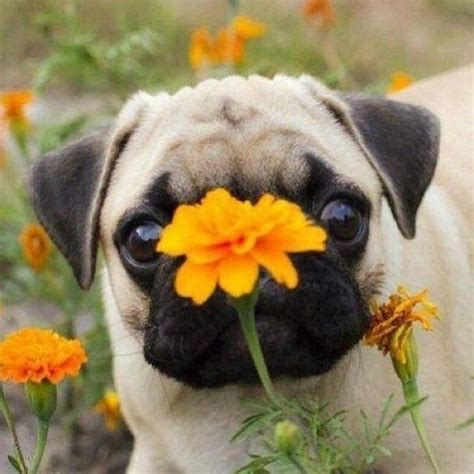 pugs bred to take lions 466 best images about pugs pugs pugs on pug and brindle pug