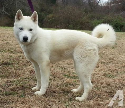 akita husky mix puppies for sale the gallery for gt huskita dogs