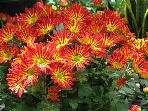 image orangeyellow daisy mums