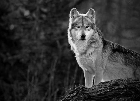 Lone Wolf lone wolf or leader