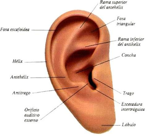 los besos en la oreja y en el cuello es lo mejor que le puede pasar a una mujer dibujos imagenes biologia sistema aparato fotos de la oreja