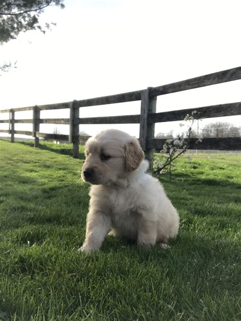 amish country puppies for sale puppies golden retriever breeder shreve ohio