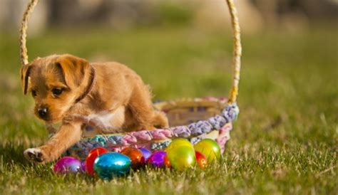 eggs bad for dogs kong easter egg hunt
