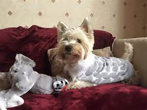 Lie On The Bed Westie Owner Reveals What It S Really Like To Live With