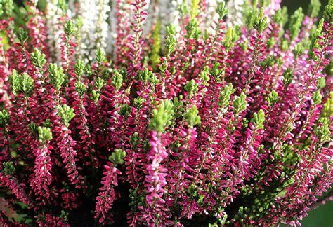 Blumen Im Garten 3261 by Kostenloses Foto Heidekraut Erika Blume Bl 252 Ten