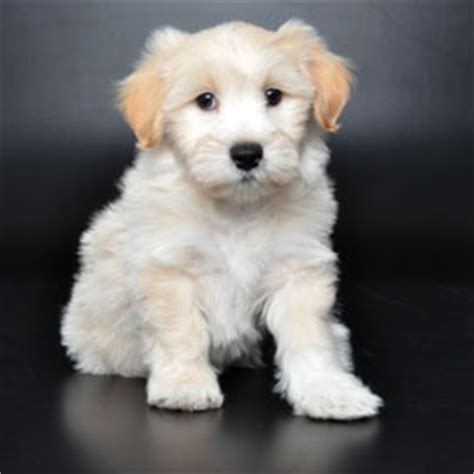 orlando puppies for sale 17 best images about lhasa poodle mix on hoodie sweatshirts adoption and
