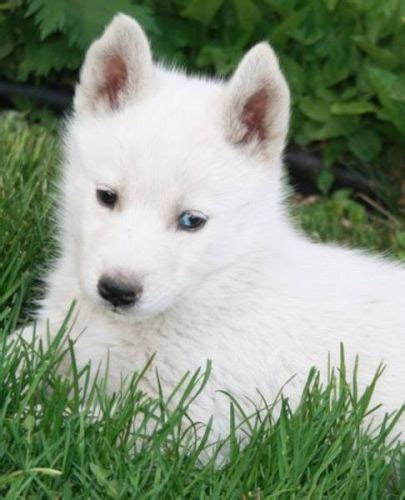white siberian husky puppy 28 best images about puppies on huskies puppies white and siberian