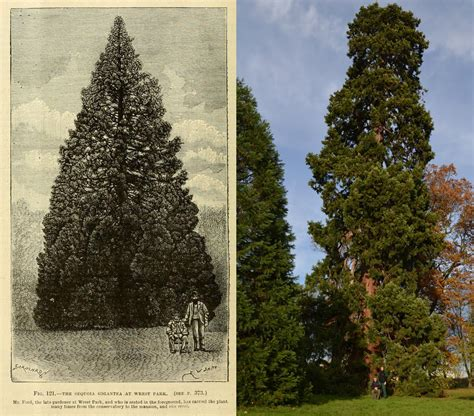 xmas tree hsitory in britain is this 158 year redwood the uk s oldest living tree