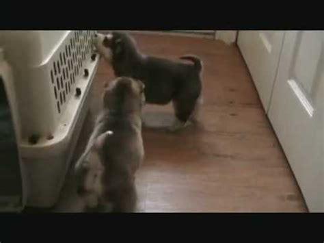 alusky puppies for sale alusky puppies for sale