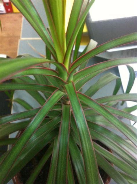 dracaena characteristics      grow