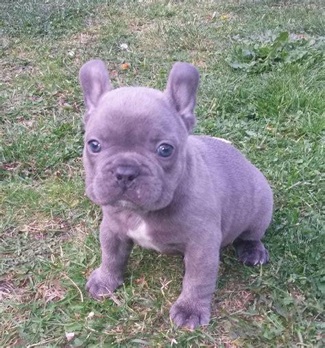 blue fawn bulldog puppies blue fawn bulldog boy ready now rhyl denbighshire pets4homes