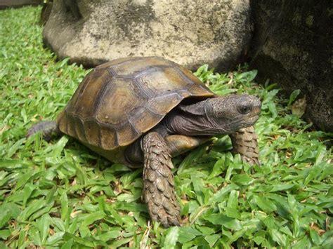 tutorial gambar kura kura contoh hewan yang berkembangbiak secara melahirkan dan