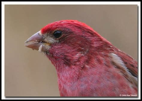 house finch vs purple finch purple finch bird photos pinterest