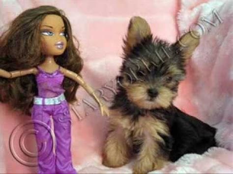 yorkie puppies for sale in los angeles ca tiny micro teacup terrier puppies for sale in los angeles california