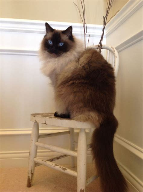 3 year ragdoll cats 17 best images about ragdoll cats on cats