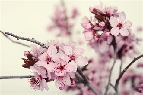 Sakura Valori Boss Photography Cherry Blossom Branch