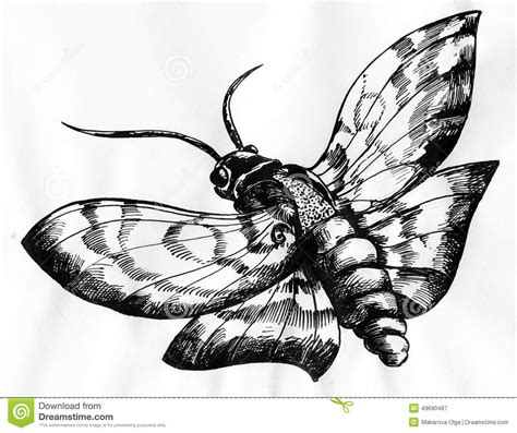 moth ink drawing stock illustration image 49690487