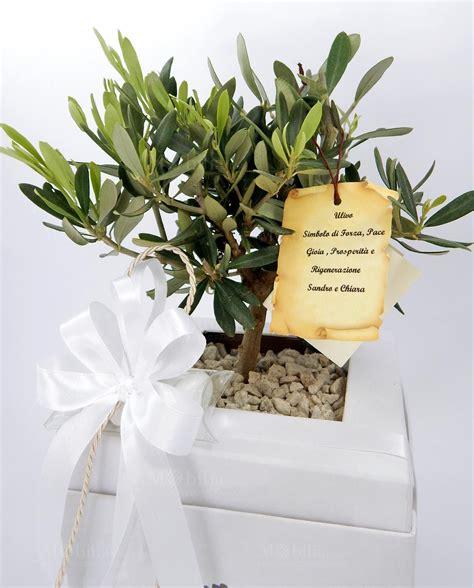 pianta di ulivo in vaso pianta di ulivo in vaso rolando bianco mobilia