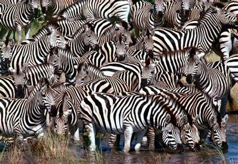 zebra migration pattern 2015 august daily speculations