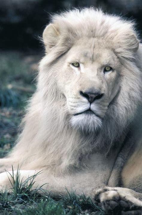 imagenes de leones albinos una pareja de leones blancos habita en la reserva natural