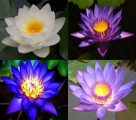lotus flower colors 10 lotus flower seeds pink blue white purple fresh 4