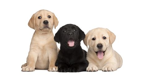 labrador retriever puppies for adoption labrador retriever puppies for adoption bazar