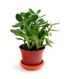 Jade Plants: How to Plant, Grow, and Care for Jade Plants