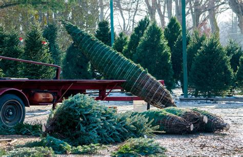 best christmas tree farm in nj best tree farms near new york city ct and nj thrillist