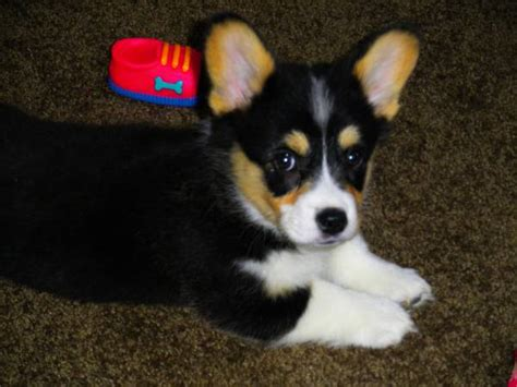 corgi puppies colorado finn pembroke corgi from colorado corgi dogs