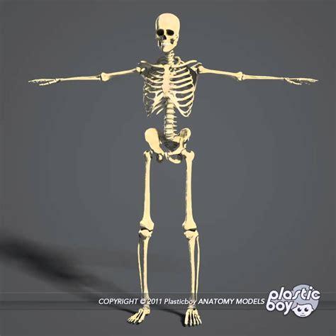 human skeletal system diagram 3d human skeletal system diagram diagram of the skeletal