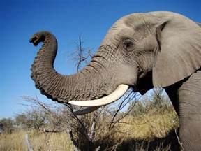 dutchbaby living with elephants