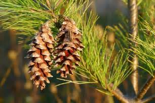 pine cone tree free photo pine cones pine tree pine tree free image on pixabay 1147855
