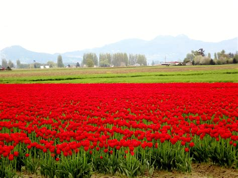 tulip field the tulip fields around laconner washington ddfreeinkirkland