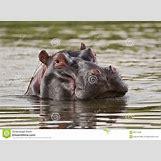 Hippopotamus Face In Water   1300 x 957 jpeg 158kB