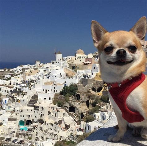 puppies miami is miami the instagram chihuahua the world s most travelled daily mail