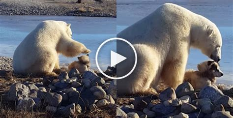 polar petting the tragic the viral of a polar quot petting quot a