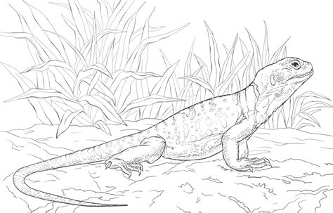collared lizard coloring page 95 lizard coloring page lizard coloring page lizard