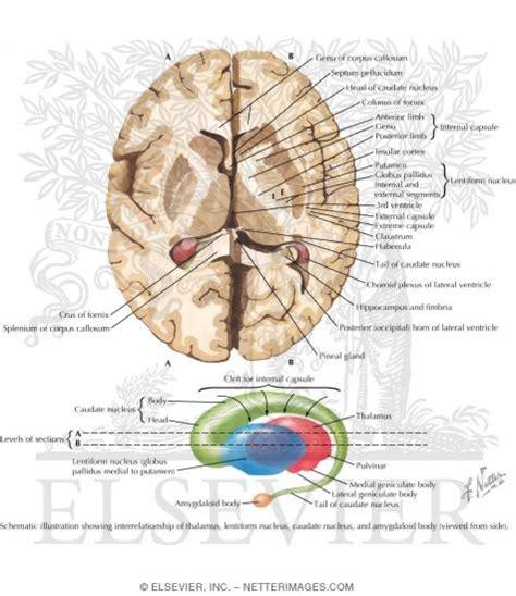 horizontal section of brain basal ganglia basal nuclei ganglia