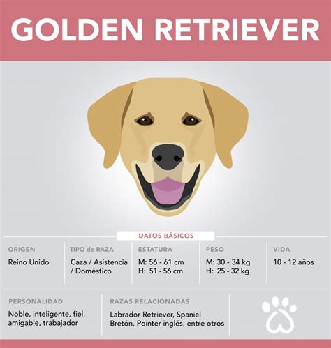 golden retriever ta golden retriever razas de perros cuida mi mascota