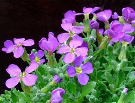 mi remanso de paz flores de goma mi remanso de paz aubrieta deltoidea aubrietia