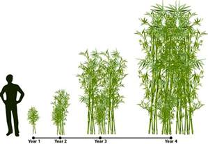 how bamboo grows lewis bamboo