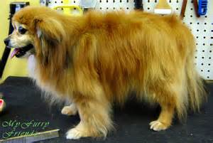 Of pomeranian s and pom mixes that i have groomed