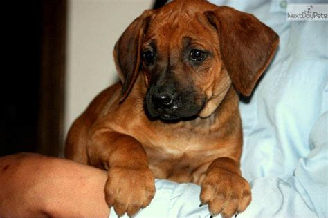 rhodesian ridgeback puppies for sale california meet a rhodesian ridgeback puppy for sale for 1 200 akc puppies coming soon