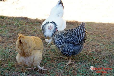 Backyard Chickens Gift Egg Cellant Gift