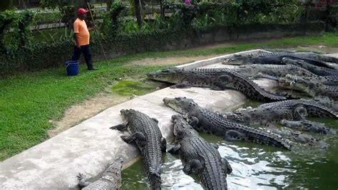 Crocodile Feeding at Langkawi Crocodile Farm - YouTube