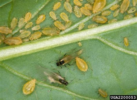 Gardenia Thrips Green Aphid Myzus Persicae Hemiptera Aphididae